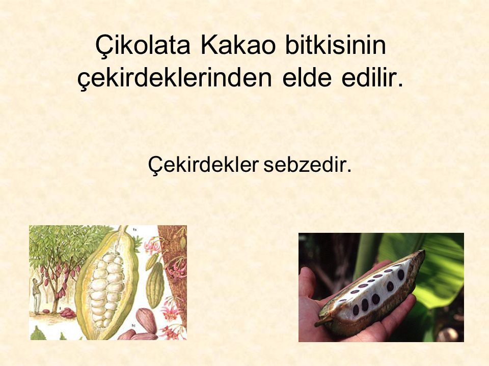 Çikolata Kakao bitkisinin çekirdeklerinden elde edilir. Çekirdekler sebzedir.