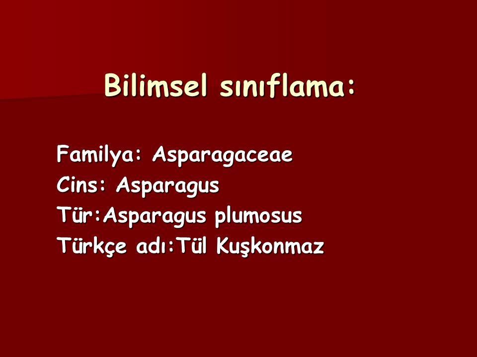 Bilimsel sınıflama: Familya: Asparagaceae Cins: Asparagus Tür:Asparagus plumosus Türkçe adı:Tül Kuşkonmaz