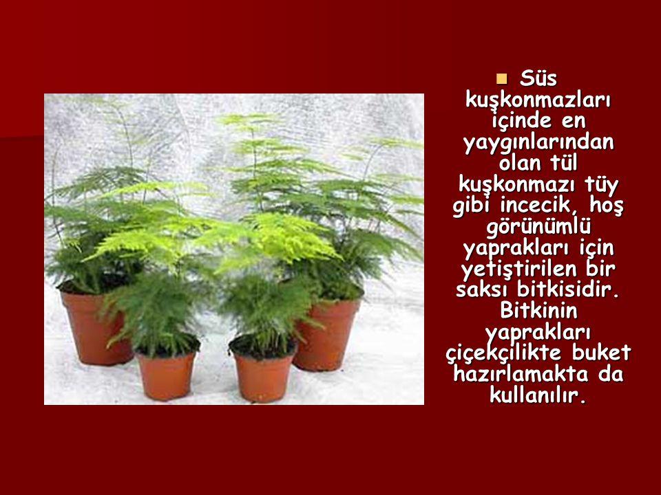 Süs kuşkonmazları içinde en yaygınlarından olan tül kuşkonmazı tüy gibi incecik, hoş görünümlü yaprakları için yetiştirilen bir saksı bitkisidir. Bitk