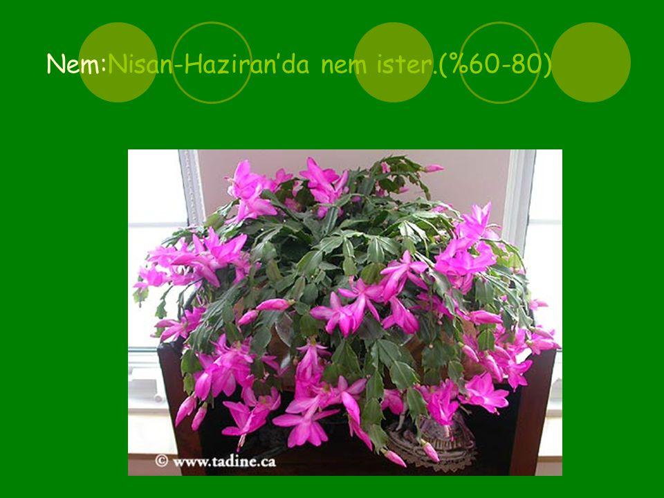 Çiçeklenme zamanı Aralık-Ocak ayıdır.Genellikle yılbaşına doğru çiçek açtığından ''Yılbaşı Çiçeği'' adını almıştır.
