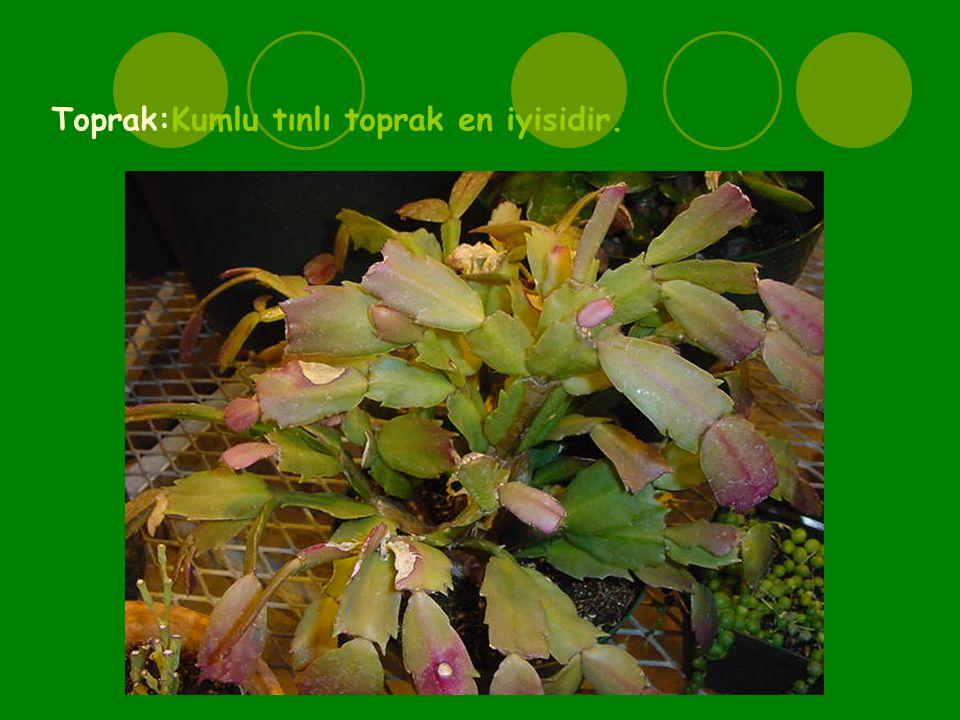 Yaprak gibi yeşil segmentleri önce yukarı doğru gider,daha sonra sarkar.