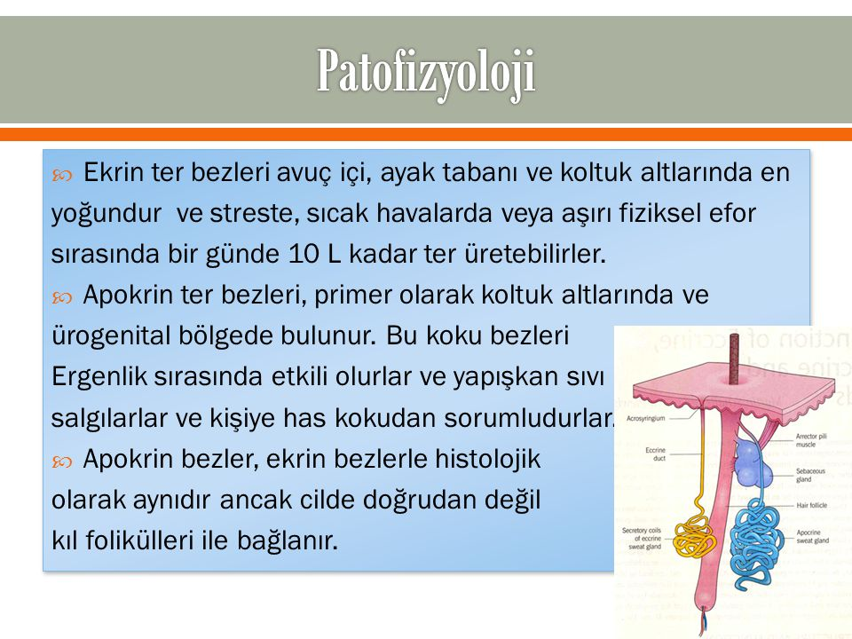  Ekrin ter bezleri avuç içi, ayak tabanı ve koltuk altlarında en yoğundur ve streste, sıcak havalarda veya aşırı fiziksel efor sırasında bir günde 10 L kadar ter üretebilirler.