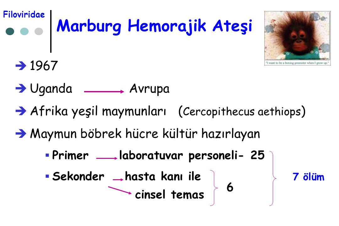 Marburg Hemorajik Ateşi  1967  Uganda Avrupa  Afrika yeşil maymunları ( Cercopithecus aethiops )  Maymun böbrek hücre kültür hazırlayan  Primer l