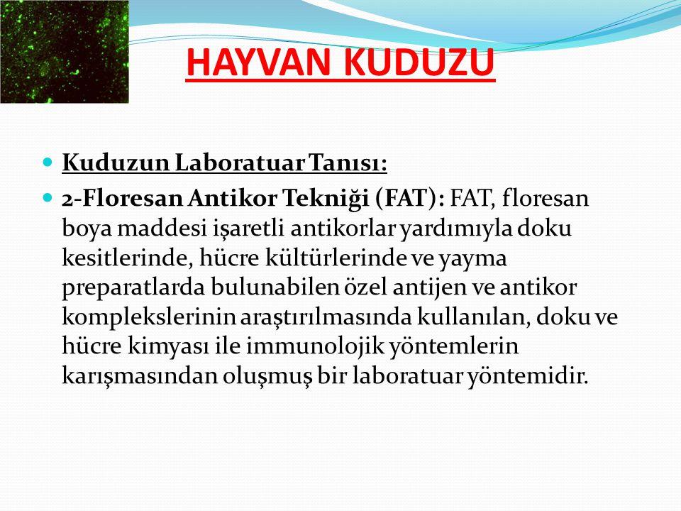 Kuduzun Laboratuar Tanısı: 2-Floresan Antikor Tekniği (FAT): FAT, floresan boya maddesi işaretli antikorlar yardımıyla doku kesitlerinde, hücre kültür