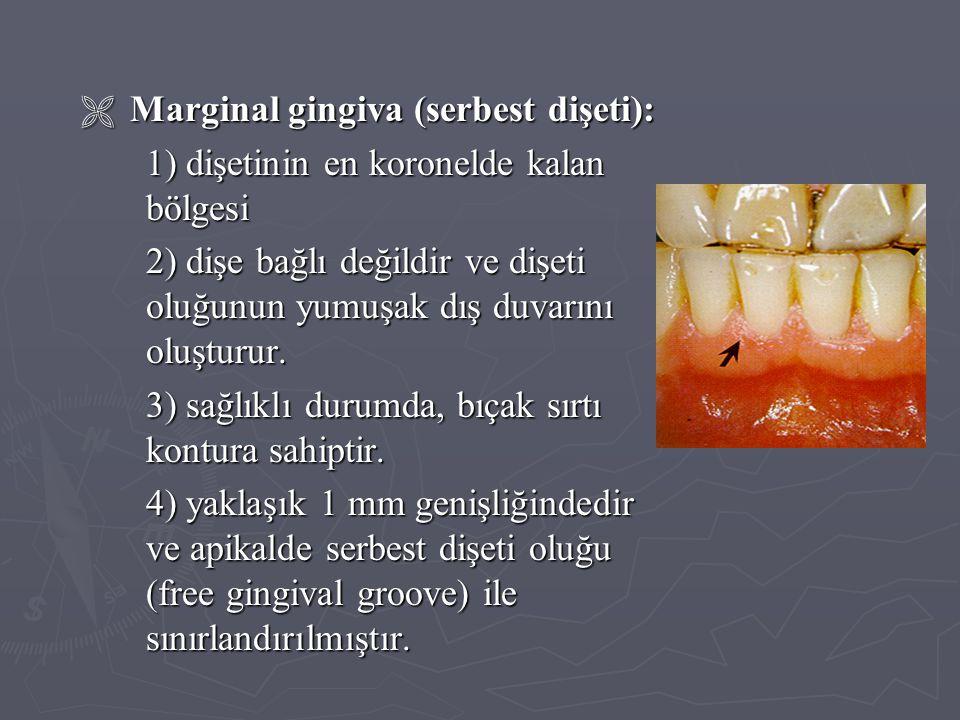  Marginal gingiva (serbest dişeti): 1) dişetinin en koronelde kalan bölgesi 2) dişe bağlı değildir ve dişeti oluğunun yumuşak dış duvarını oluşturur.