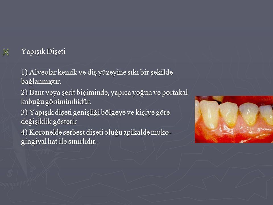  Yapışık Dişeti 1) Alveolar kemik ve diş yüzeyine sıkı bir şekilde bağlanmıştır. 2) Bant veya şerit biçiminde, yapıca yoğun ve portakal kabuğu görünü
