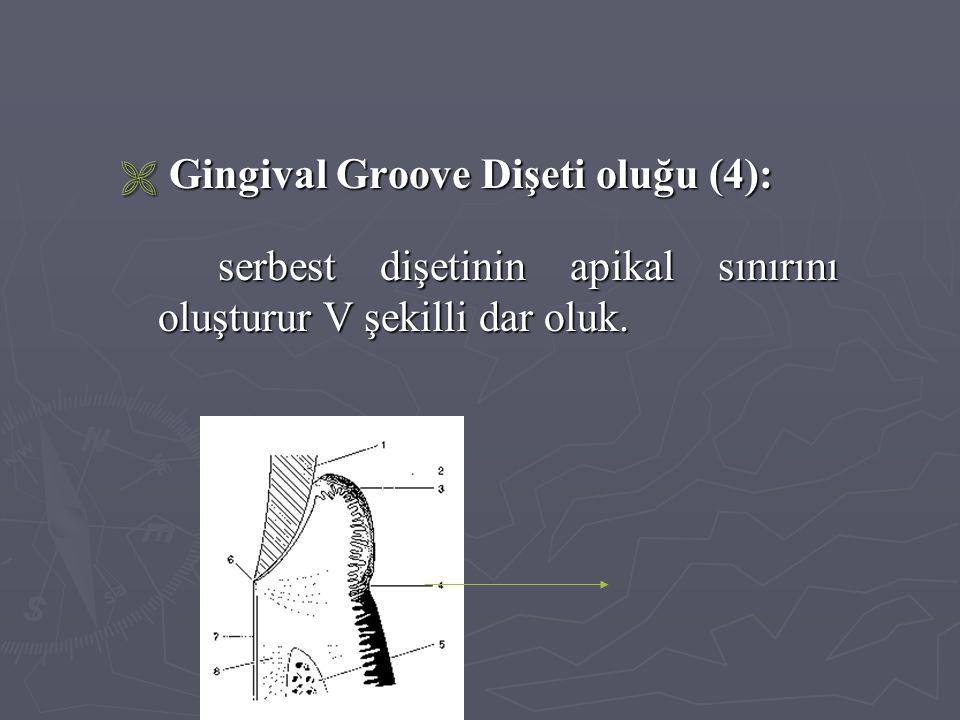  Gingival Groove Dişeti oluğu (4): serbest dişetinin apikal sınırını oluşturur V şekilli dar oluk.