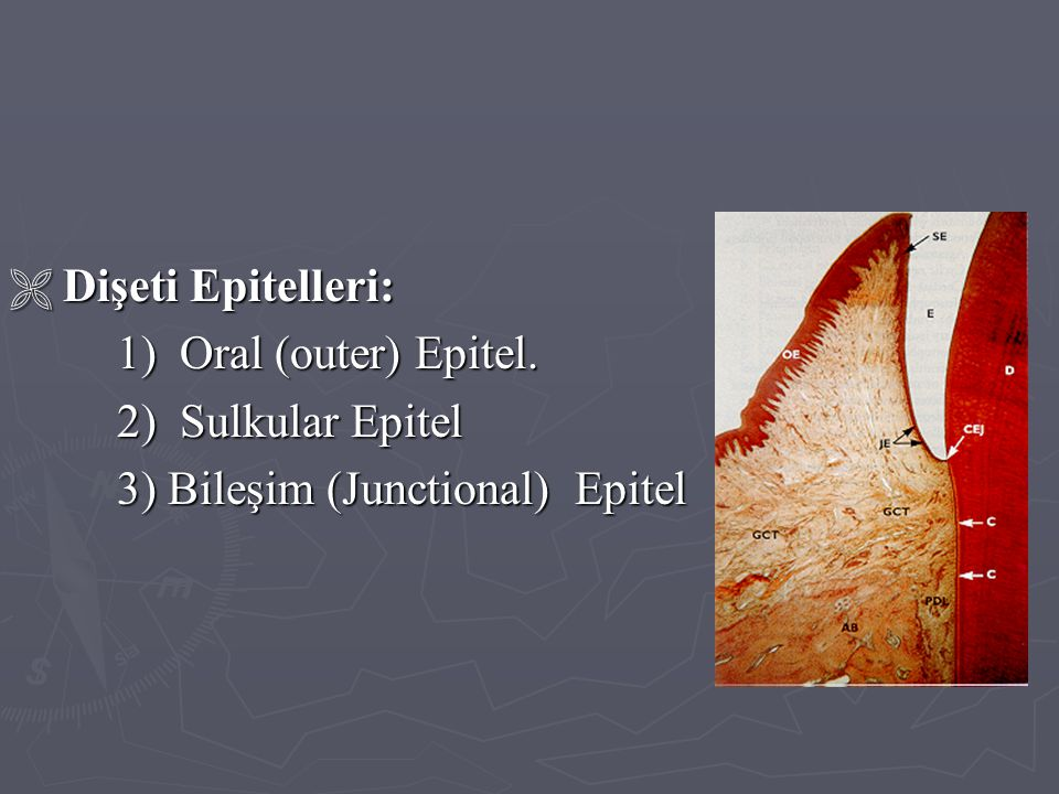 Dişeti Epitelleri: 1) Oral (outer) Epitel. 2) Sulkular Epitel 3) Bileşim (Junctional) Epitel