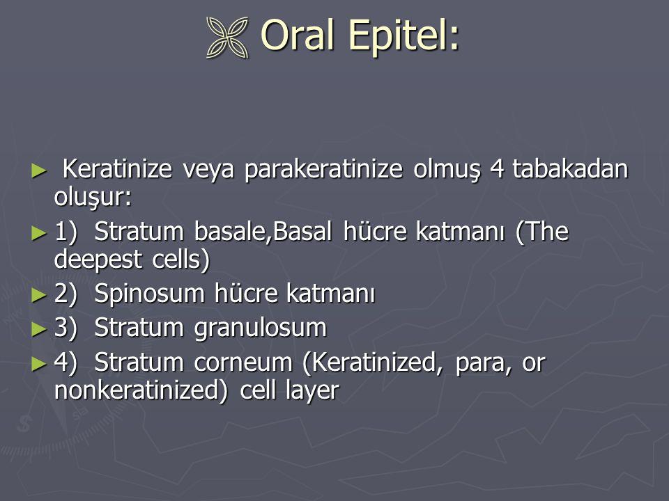  Oral Epitel: ► Keratinize veya parakeratinize olmuş 4 tabakadan oluşur: ► 1) Stratum basale,Basal hücre katmanı (The deepest cells) ► 2) Spinosum hü
