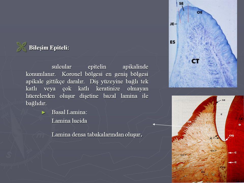  Bileşim Epiteli: sulcular epitelin apikalinde konumlanır. Koronel bölgesi en geniş bölgesi apikale gittikçe daralır. Diş yüzeyine bağlı tek katlı ve