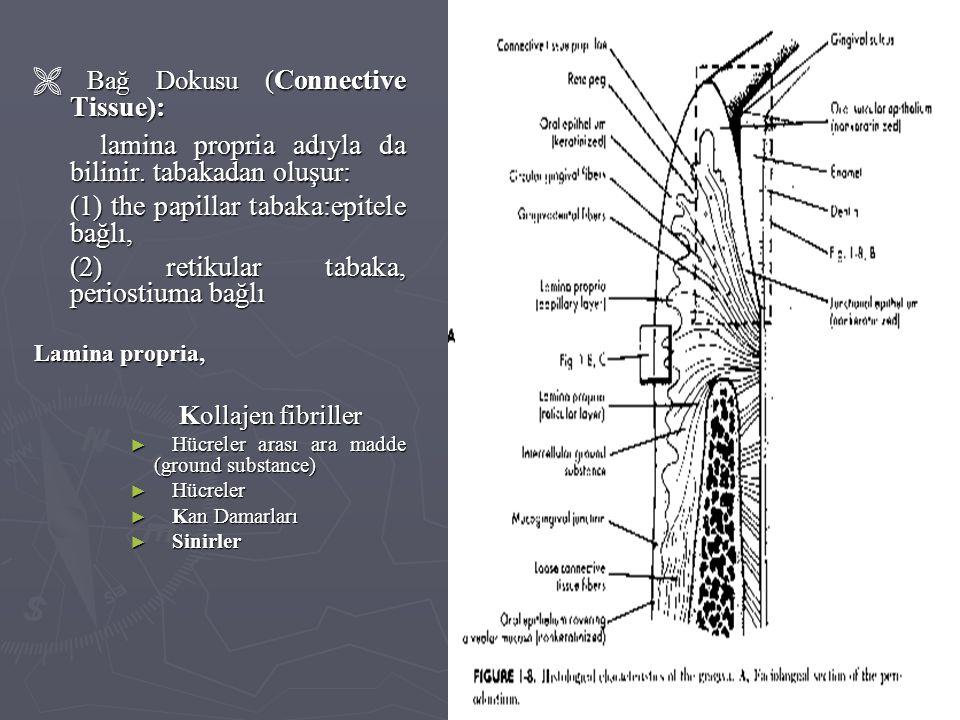  Bağ Dokusu ( Connective Tissue): lamina propria adıyla da bilinir. tabakadan oluşur: lamina propria adıyla da bilinir. tabakadan oluşur: (1) the pap