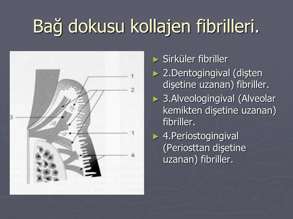 Bağ dokusu kollajen fibrilleri. ► Sirküler fibriller ► 2.Dentogingival (dişten dişetine uzanan) fibriller. ► 3.Alveologingival (Alveolar kemikten dişe