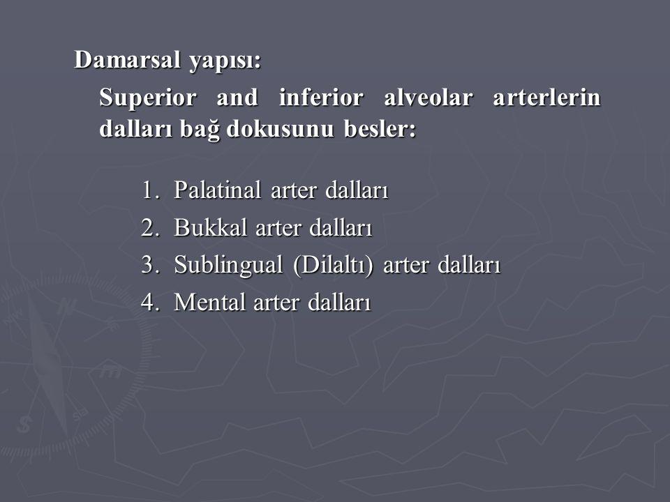 Damarsal yapısı: Superior and inferior alveolar arterlerin dalları bağ dokusunu besler: 1. Palatinal arter dalları 2. Bukkal arter dalları 3. Sublingu