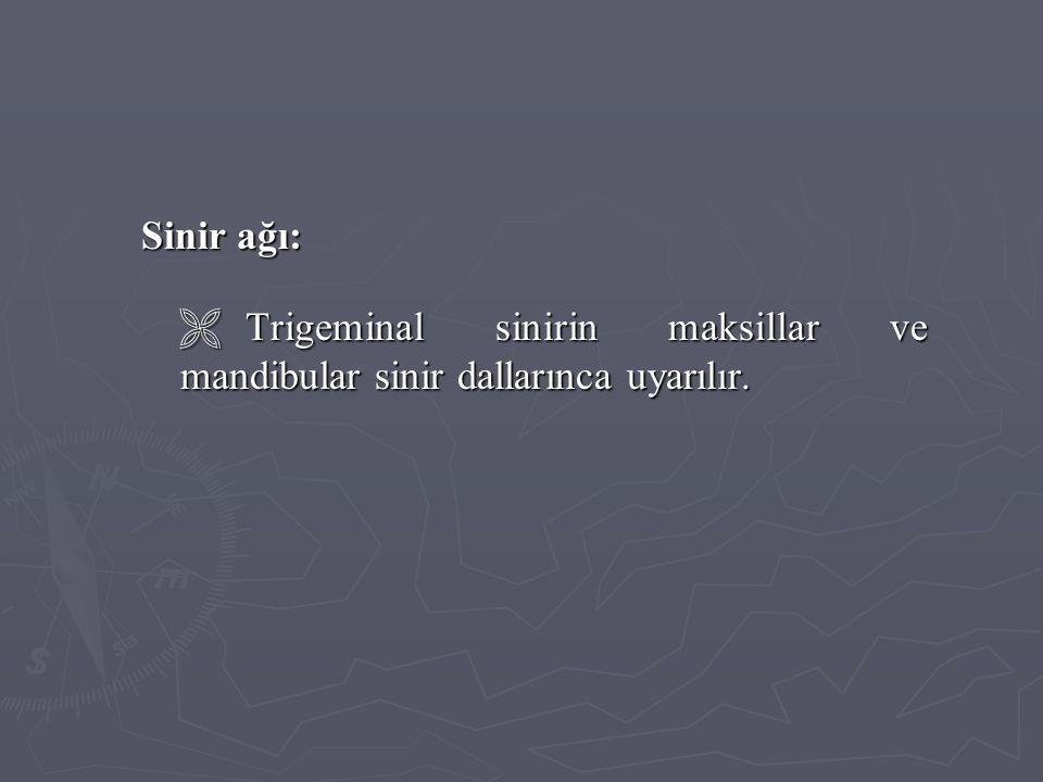 Sinir ağı:  Trigeminal sinirin maksillar ve mandibular sinir dallarınca uyarılır.
