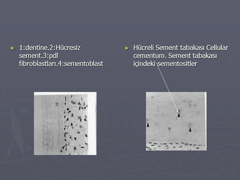 ► 1:dentine.2:Hücresiz sement.3:pdl fibroblastları.4:sementoblast ► Hücreli Sement tabakası Cellular cementum. Sement tabakası içindeki sementositler