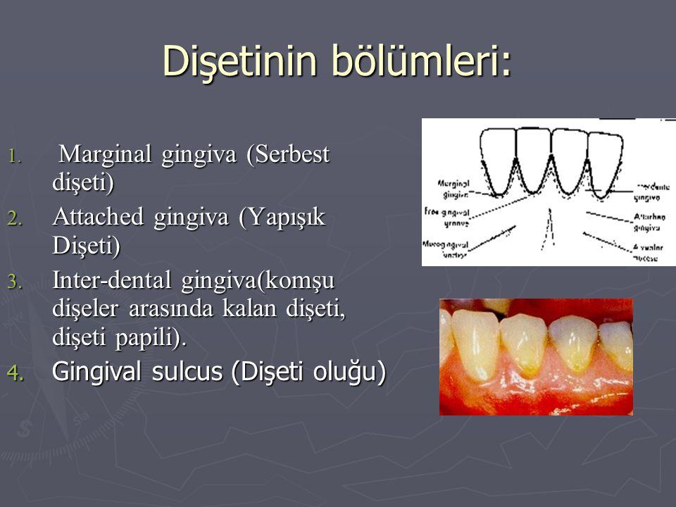 Dişetinin bölümleri: 1. Marginal gingiva (Serbest dişeti) 2. Attached gingiva (Yapışık Dişeti) 3. Inter-dental gingiva(komşu dişeler arasında kalan di