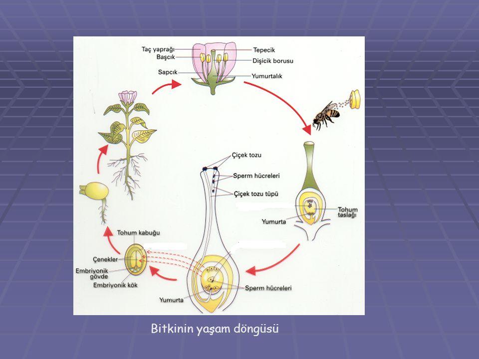 Bitkinin yaşam döngüsü