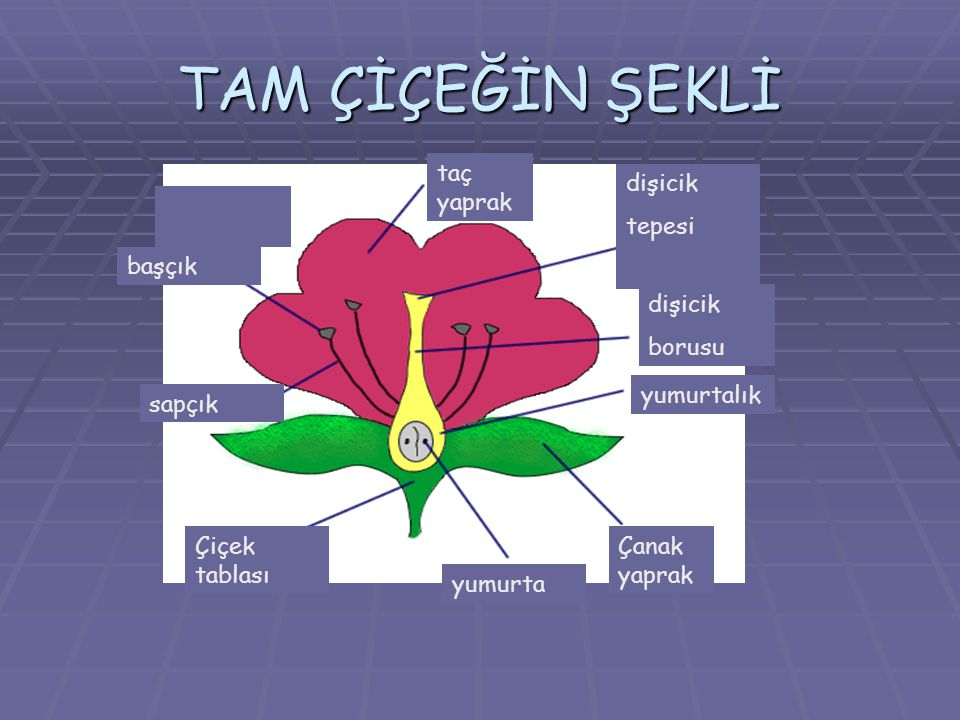  Tam Çiçek: Bazı bitkilerde erkek ve dişi üreme organlarının her ikisi de bulunur.