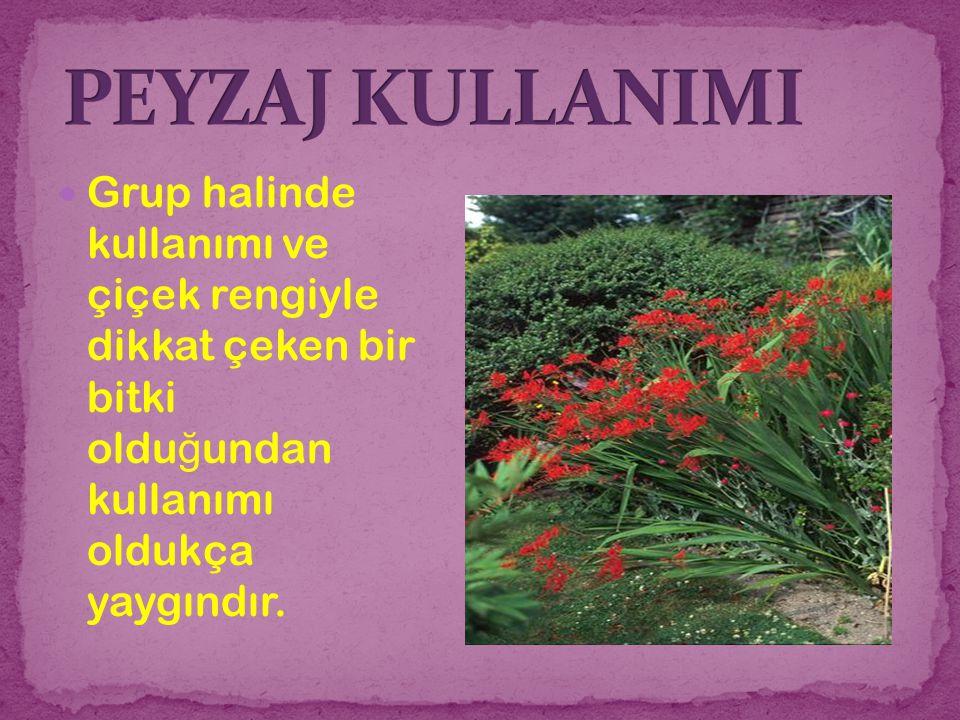 Grup halinde kullanımı ve çiçek rengiyle dikkat çeken bir bitki oldu ğ undan kullanımı oldukça yaygındır.
