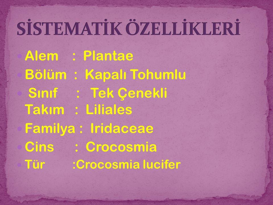 Alem : Plantae Bölüm : Kapalı Tohumlu Sınıf : Tek Çenekli Takım : Liliales Familya : Iridaceae Cins : Crocosmia Tür :Crocosmia lucifer