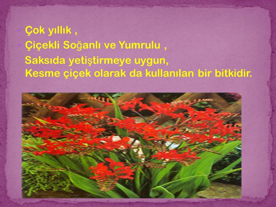 Çok yıllık, Çiçekli So ğ anlı ve Yumrulu, Saksıda yeti ş tirmeye uygun, Kesme çiçek olarak da kullanılan bir bitkidir.