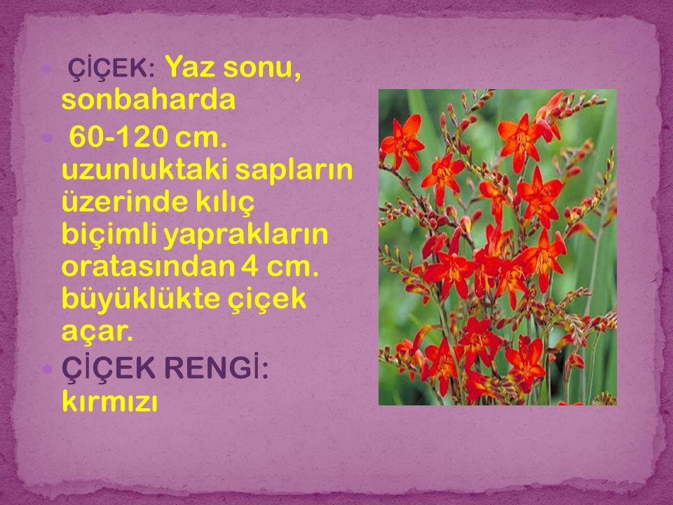 Ç İ ÇEK: Yaz sonu, sonbaharda 60-120 cm. uzunluktaki sapların üzerinde kılıç biçimli yaprakların oratasından 4 cm. büyüklükte çiçek açar. Ç İ ÇEK RENG