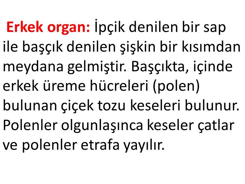 Erkek organ: İpçik denilen bir sap ile başçık denilen şişkin bir kısımdan meydana gelmiştir. Başçıkta, içinde erkek üreme hücreleri (polen) bulunan çi