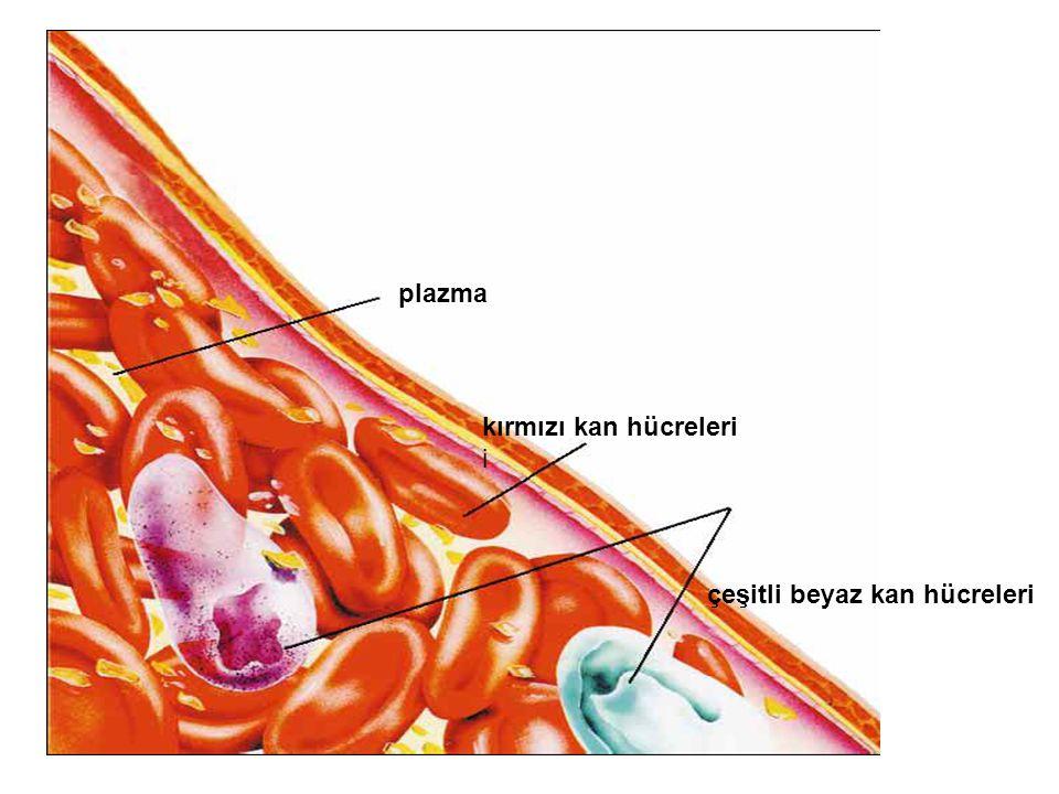 kırmızı kan hücreleri i plazma çeşitli beyaz kan hücreleri