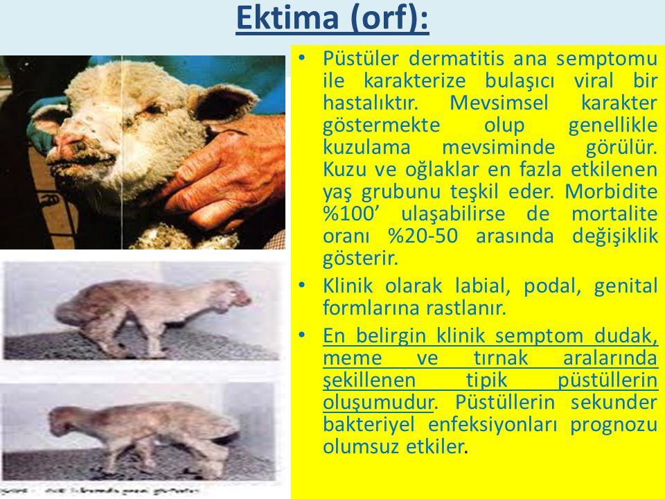 Koyun – Keçi Çiçeği Yüksek ateş, göz - burun akıntısı ve konjuktivitisi takiben vücudun kılsız bölgelerinde (burun, dudak, meme, bacak araları, karın