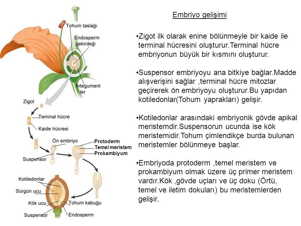 Protoderm Temel meristem Prokambiyum Embriyo gelişimi Zigot ilk olarak enine bölünmeyle bir kaide ile terminal hücresini oluşturur.Terminal hücre embriyonun büyük bir kısmını oluşturur.