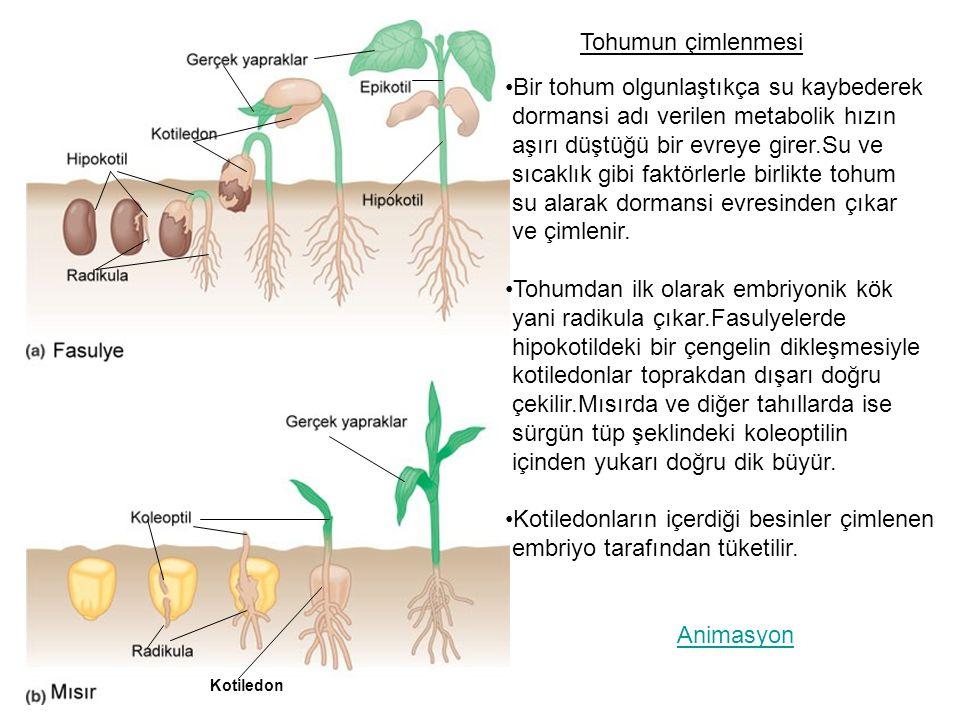 Tohumun çimlenmesi Kotiledon Bir tohum olgunlaştıkça su kaybederek dormansi adı verilen metabolik hızın aşırı düştüğü bir evreye girer.Su ve sıcaklık gibi faktörlerle birlikte tohum su alarak dormansi evresinden çıkar ve çimlenir.