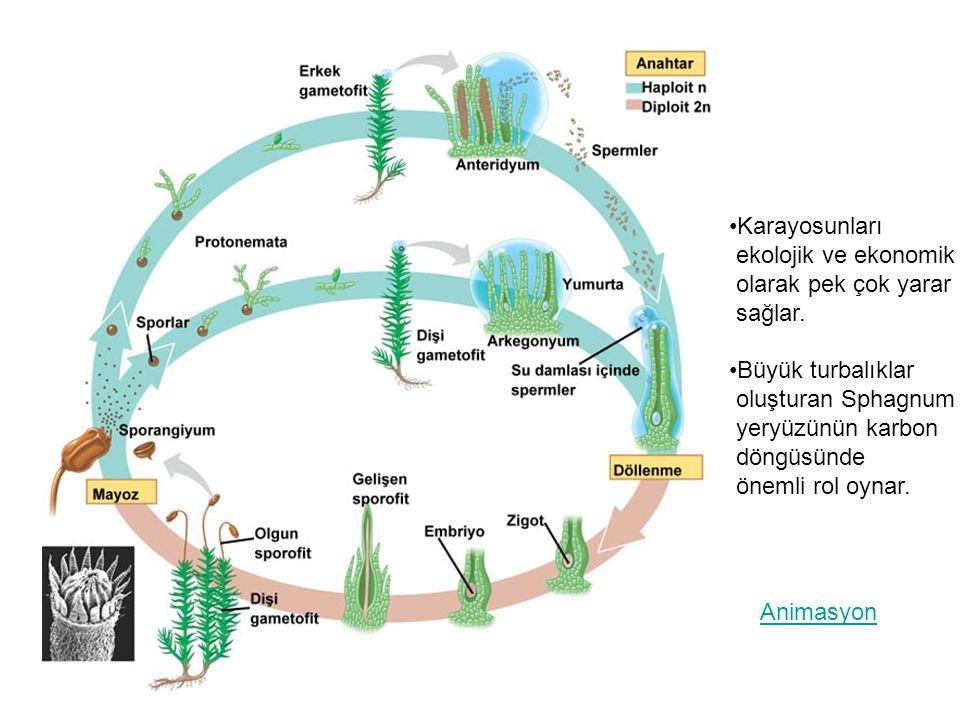 Çift döllenme sonucu zigot ve endospermin oluşumu Stigma Polen tüpü 2 sperm Stilus Ovaryum Tohum taslağı Mikropil Bir polen tanesi,rüzgar veya bir hayvan tarafından stigmaya taşındıktan sonra stilustan ovaryuma uzun bir polen tüpü uzamaya başlar.