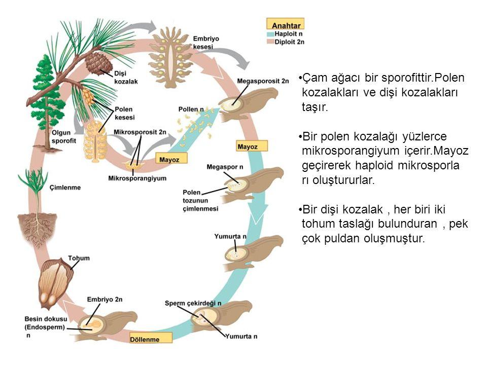 Çam ağacı bir sporofittir.Polen kozalakları ve dişi kozalakları taşır.