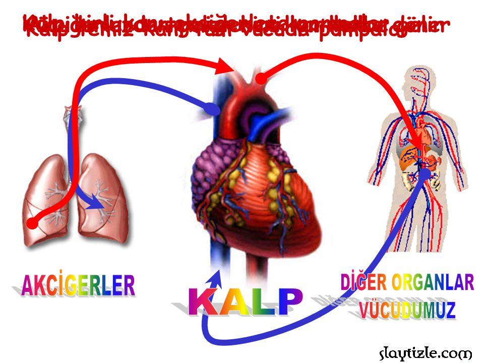 Vücudumuzdan gelen kirli kan kalbe gelir Kalp kirli kanı akciğerlere pompalar Akciğerlerde temizlenen kan kalbe döner Kalp temiz kanı tüm vücuda pompalar