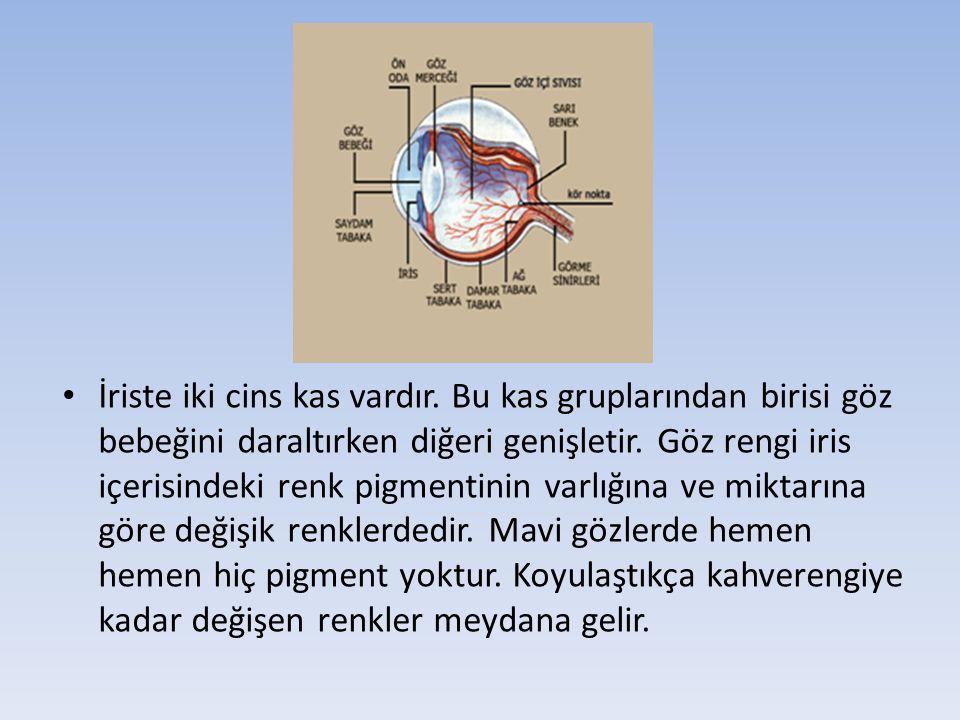 İriste iki cins kas vardır. Bu kas gruplarından birisi göz bebeğini daraltırken diğeri genişletir. Göz rengi iris içerisindeki renk pigmentinin varlığ