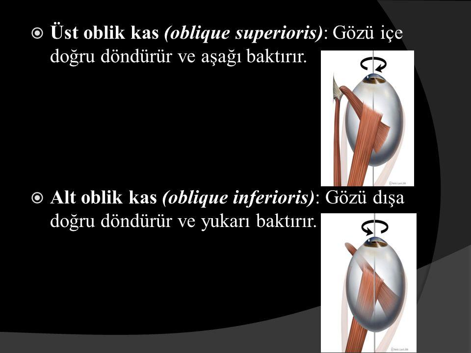  Üst oblik kas (oblique superioris): Gözü içe doğru döndürür ve aşağı baktırır.