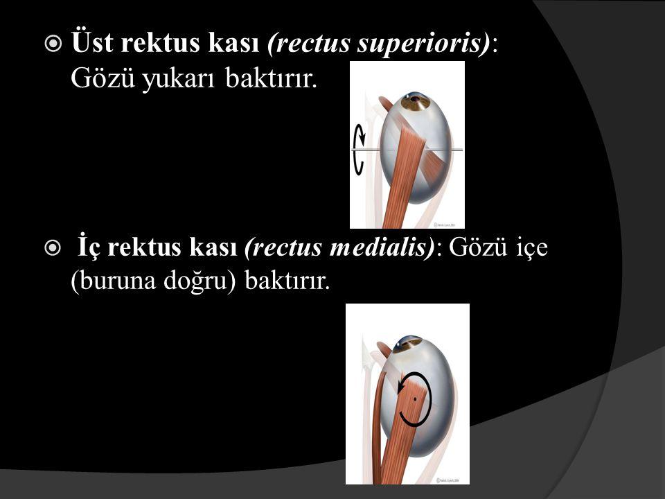  Alt rektus kası (rectus inferioris): Gözü aşağı baktırır.