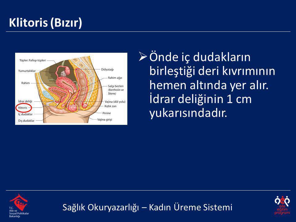 Klitoris (Bızır) Sağlık Okuryazarlığı – Kadın Üreme Sistemi  Önde iç dudakların birleştiği deri kıvrımının hemen altında yer alır.