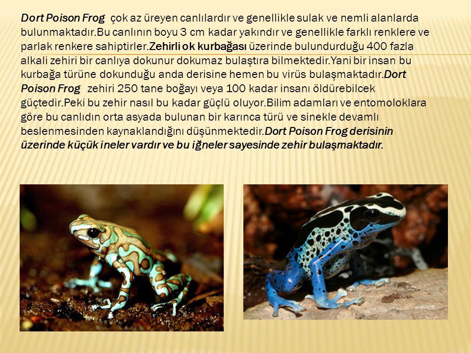 Dort Poison Frog çok az üreyen canlılardır ve genellikle sulak ve nemli alanlarda bulunmaktadır.Bu canlının boyu 3 cm kadar yakındır ve genellikle far