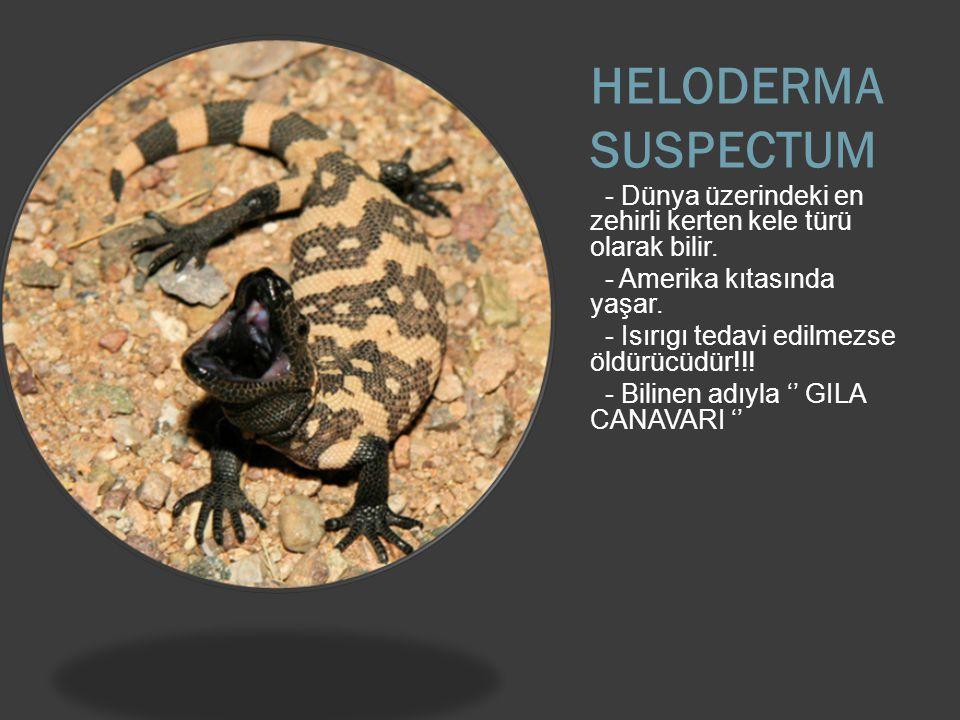 HELODERMA SUSPECTUM - Dünya üzerindeki en zehirli kerten kele türü olarak bilir.