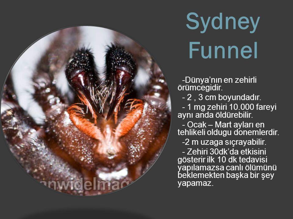 Sydney Funnel -Dünya'nın en zehirli örümcegidir.- 2, 3 cm boyundadır.