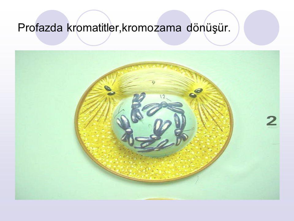 Profazda kromatitler,kromozama dönüşür.