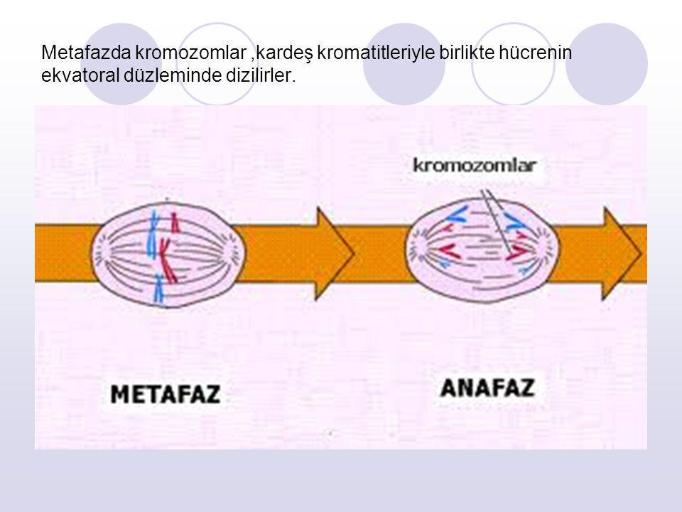Metafazda kromozomlar,kardeş kromatitleriyle birlikte hücrenin ekvatoral düzleminde dizilirler.
