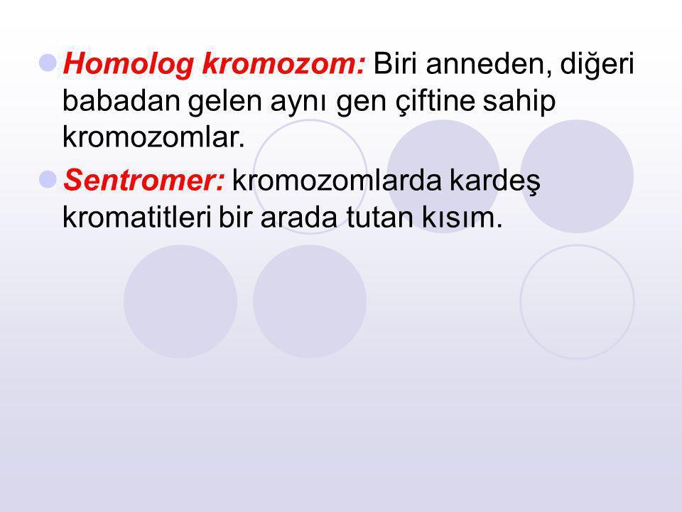 Homolog kromozom: Biri anneden, diğeri babadan gelen aynı gen çiftine sahip kromozomlar. Sentromer: kromozomlarda kardeş kromatitleri bir arada tutan