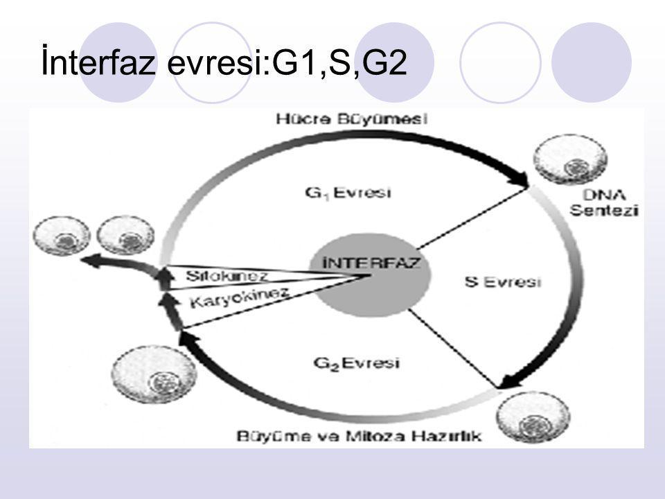 İnterfaz evresi:G1,S,G2