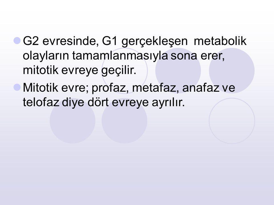 G2 evresinde, G1 gerçekleşen metabolik olayların tamamlanmasıyla sona erer, mitotik evreye geçilir. Mitotik evre; profaz, metafaz, anafaz ve telofaz d