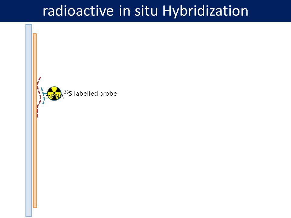 Radyoaktif Olmayan Probların Saptanması Doğrudan ve dolaylı olmak üzere iki çeşittir.