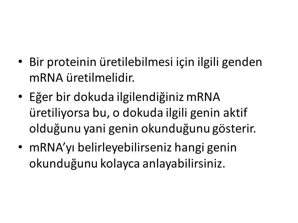 Bir proteinin üretilebilmesi için ilgili genden mRNA üretilmelidir. Eğer bir dokuda ilgilendiğiniz mRNA üretiliyorsa bu, o dokuda ilgili genin aktif o