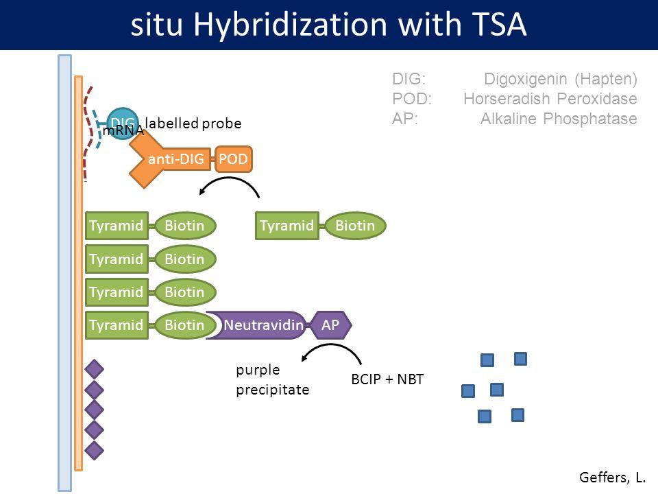 DIG anti-DIG POD TyramidBiotinTyramidBiotinTyramidBiotin TyramidBiotinTyramidBiotin NeutravidinAP BCIP + NBT purple precipitate DIG:Digoxigenin (Hapte