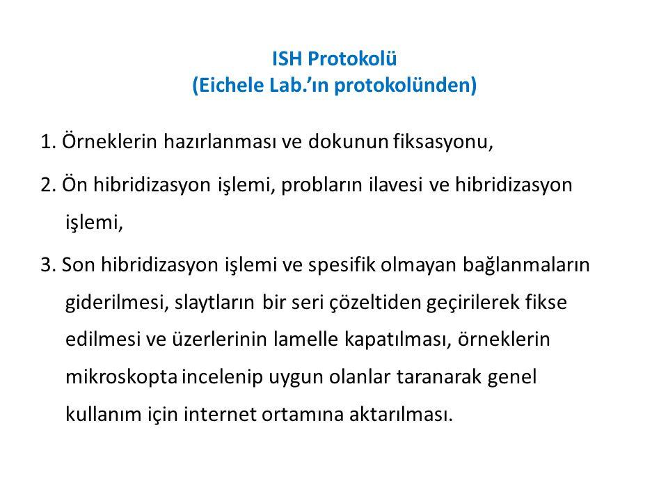 ISH Protokolü (Eichele Lab.'ın protokolünden) 1. Örneklerin hazırlanması ve dokunun fiksasyonu, 2. Ön hibridizasyon işlemi, probların ilavesi ve hibri